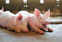 本港爆發非洲豬瘟的風險屬於中度