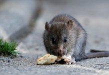 【大鼠戊型肝炎】本港再爆3宗人類感染大鼠戊型肝炎 其中1人離世