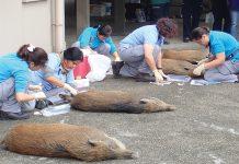 【衞生危機】(2)漁護署野豬管理開支 急增近倍