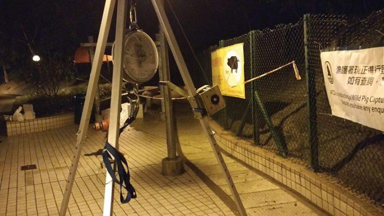 漁護署人員架起大磅檢查豬隻體重。